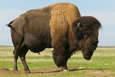 North American bison photo