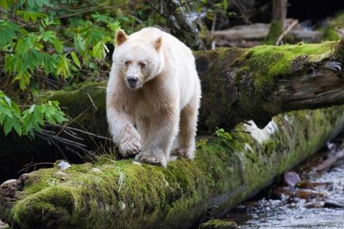 kermode bear spirit bear british columbia canada 8